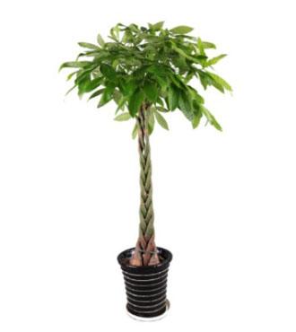 花瓶/花器/花盆/花架[人气推荐 店铺推荐]标签:发财树散尾葵专用盆.